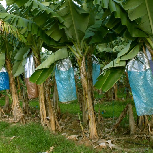Row of banana plants with blue bags protecting the bananas