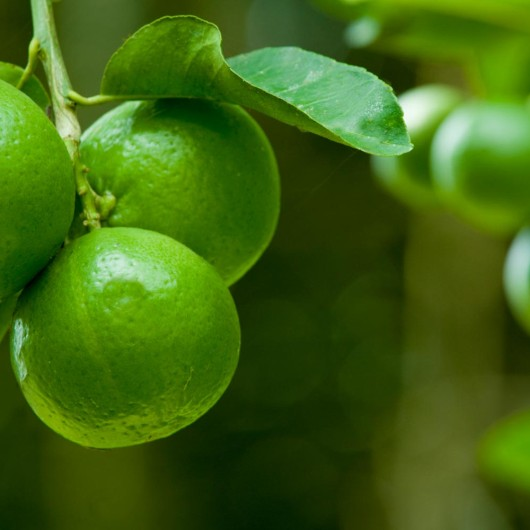Limes hanging on a tree
